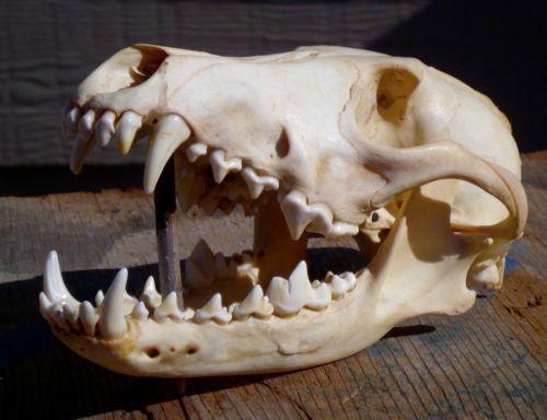 Coyote skull anatomy - photo#35
