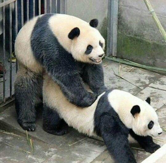 Pandas Reproducing | Wildlife-Animals | Pinterest | Pandas