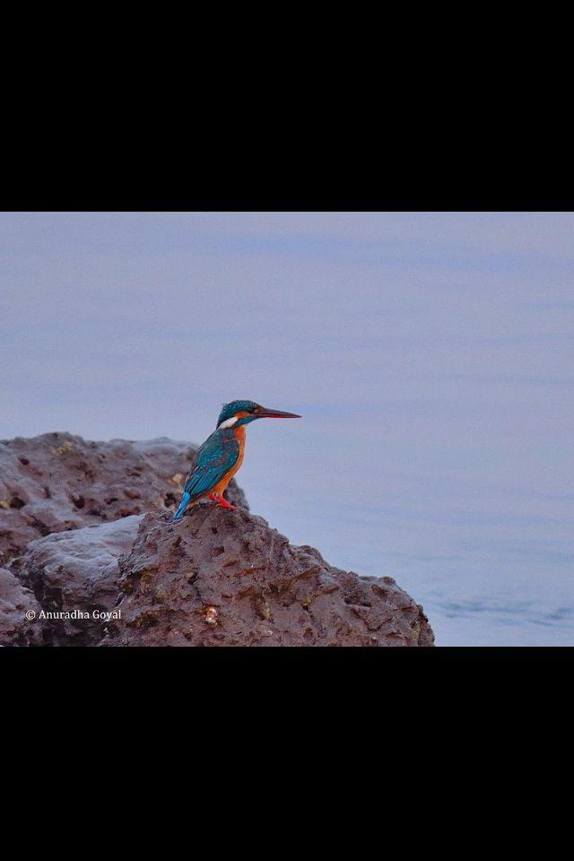 Kingfisher of Mandovi River, Goa, India