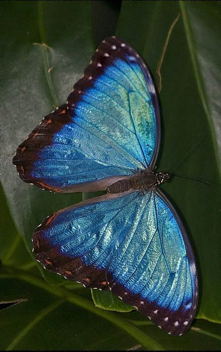 Blue Morpho with great representation of their iridescence.