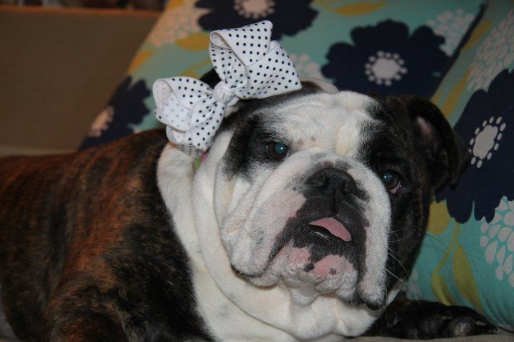 ❤ A girly-girly with her hair bow!  This was a rescued & sequentially adopted fur baby - from 2012. Her pic is so precious & reminds us --- there are many who need us!  Regardless of where you live - check out English Bulldogs for Adoption on Facebook. There a listings from a wide variety of rescue groups. Somebody wants to love you -- they are just waiting on you to find them. ❤