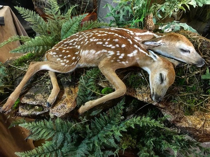 Alas not Twins fawns sleeping. One fawn with two heads stillborn. Taxidermy by Jessica Brooks & Robt. Tune of Images in Motion Savage MN. #outdoornewsdeerandturkeyshow #whitetail #taxidermy #ronspomeroutdoors #nature #naturemistake #fawn #twoheads