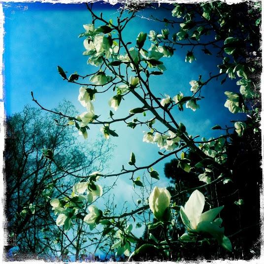 Beautiful Magnolia Tree, Frogner Park, Oslo, Norway