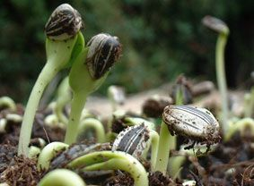 How to grow Sunflower Sprouts from whole Sunflower Seeds