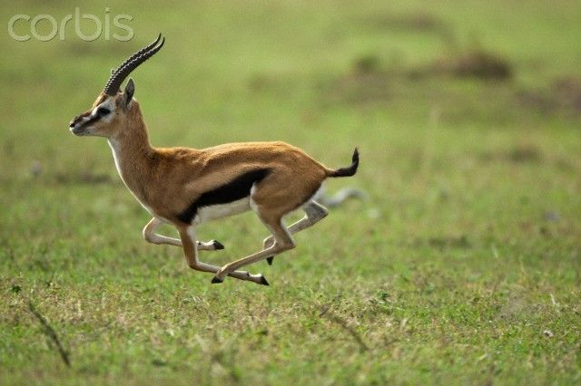 Running thomson 39 s gazelle painting reference pinterest photos stock photos and running - Gazelle dessin ...