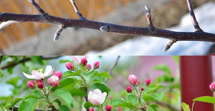 Cum distingeți mugurii de rod la măr (cu o explicație în plus) | Paradis Verde