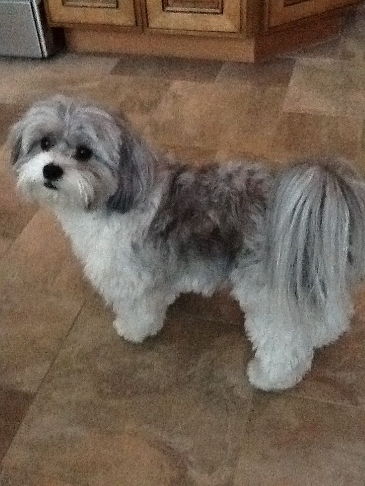 shih poo haircut styles 22 best toby haircut ideas images on pinterest shih