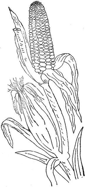 1886 Ingalls Stalk of Corn | Flickr - Photo Sharing!