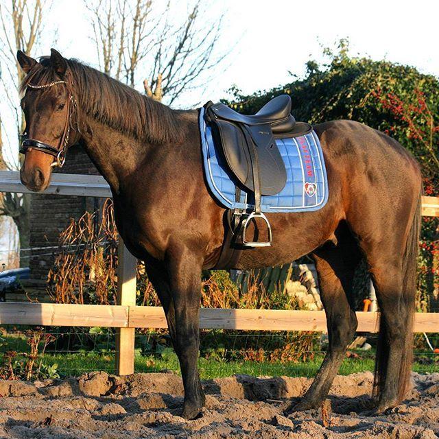 Instagram media by faceli_fotografie - Kyrios ———————————————————— #kyrios #horse #horses #pferd #paard #cheval #caballo #cavallo #racinghorse #darkbrown #brown #bruin #engelsvolbloed #wow #beautiful #stunning  #pretty  #bridle #instahorse #like #gelding #kfps #love #equestrian #amazing #volbloed #saddle #tack #photoshoot