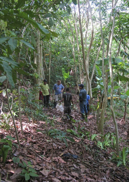 Making plans - Aladino is planting Cocoa seedlings in this section of his Inga alleys. As these trees like around 30% shade we helped Aladino to prune back most of the trees in these alleys today.