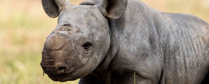 Australia's Taronga Western Plains Zoo has a new resident – a new baby black rhino, born to mum Bakhita and dad Kwanzaa. Born on Halloween, the new calf is yet to be named, but he's the second black rhino calf the zoo has welcomed this year as part of its concerted black rhino breeding program.