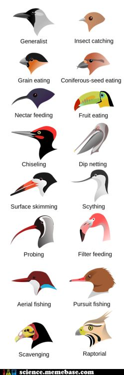 Feeding Adaptations in Beaks ~ size, shape and color of beaks is an important tool in identifying birds (I love birding!)