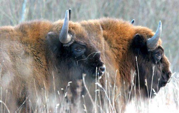 European bizons in Puszcza Białowieska (Poland).