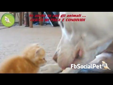 PitBull gigante incontra minuscolo gattino FbSocialPet » Canale Video » FbSocialPet: social network per cani, gatti, cavalli, tutti gli animali
