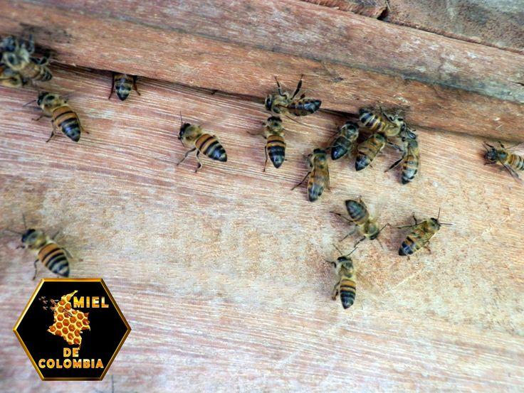Las abejas son especialmente sensibles al olor de unos productos químicos que ellas mismas producen y que utilizan para comunicarse, se trata de las feromonas. Las feromonas son unas sustancias bioquímicas usados por los insectos para interaccionar con otros de su propia especie. pedidos: 3012020777 - 3117402833  ventas@mieldecolombia.com www.mieldecolombia.com Servicio a domicilio sin ningún costo en el area metropolitana