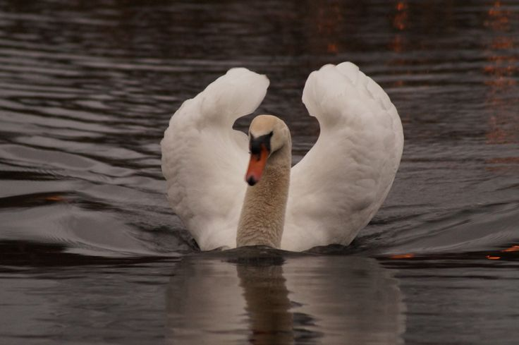A swan, beautiful, moments later it attacked us, had a bad day ;)