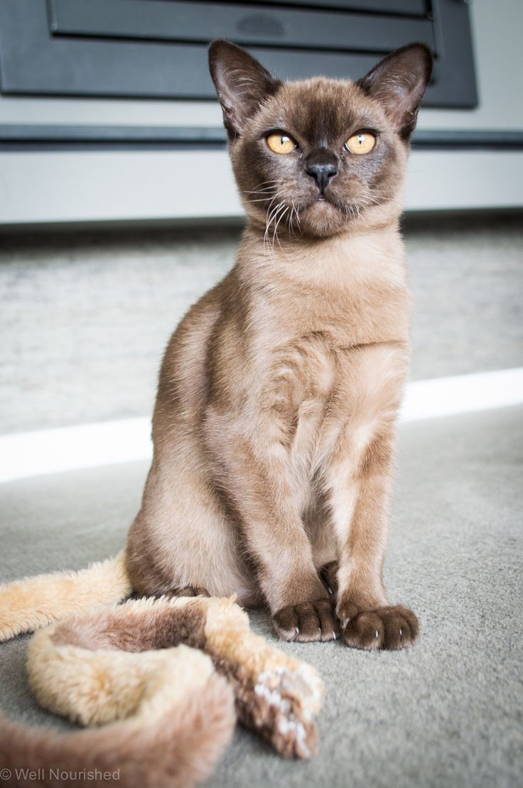 Brown burmese kitten Miss Mimi see more at…