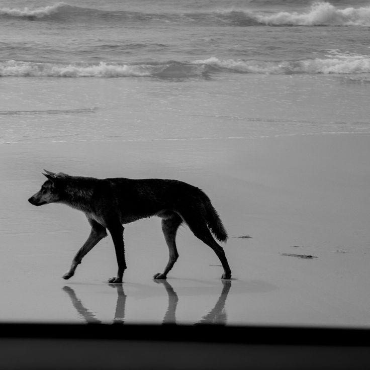 NABIL SABIO AZADI #NSAdiary #NSAbw #labrador #retriever #dog