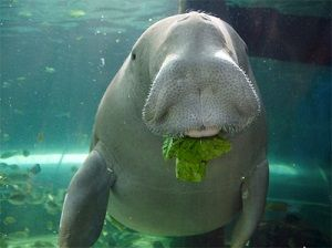 dugong-great-barrier-reef