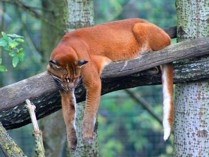 African golden cat (Profelis aurata) - It is a close relative of both the caracal and the serval, but current classification places it as the only member of the genus Profelis. Chat doré asiatique malais Macha
