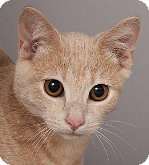 Chicago, IL Domestic Shorthair. Meet Thomas, a kitten