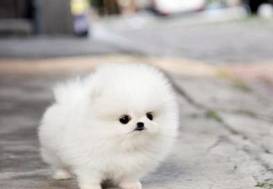 20 Cutest Teacup Dogs in the World