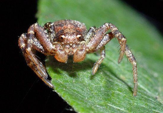 Aranha-Caranguejo  É um caranguejo ou uma aranha? A semelhança com os crustáceos rendeu o apelido para esses bichos. E não são apenas de um tipo: esse jeito de caranguejo engloba uma grande quantidade de aranhas, incluindo uma que se camufla de excremento de aves.