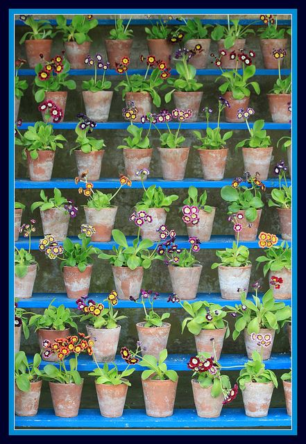 Part of The Auricula Theatre at Calke Abbey by Sue H J Hasker - limited time online, via Flickr