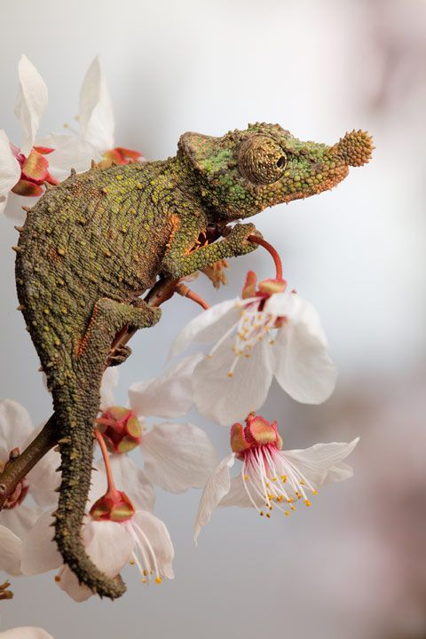 Rosette nosed chameleon.  Photographer Igor Siwanowicz's images of reptiles and amphibians.