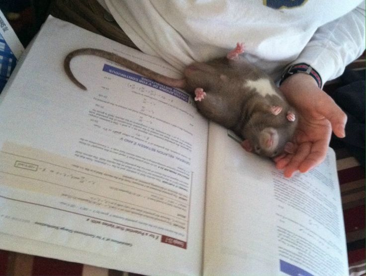 Successfully cuddled the rat today. Physics? Not so much. - Imgur