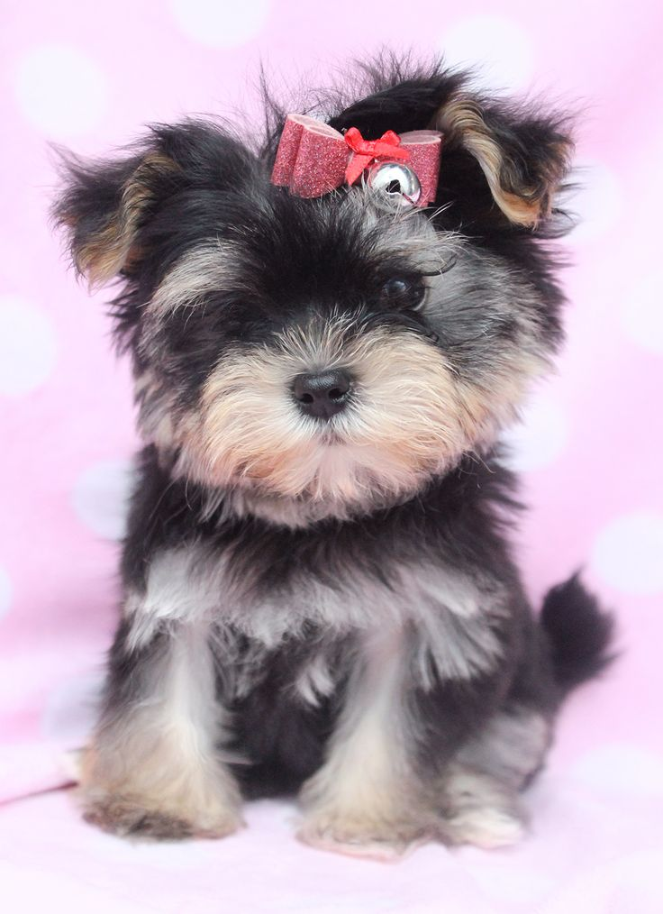 morkie | Tags: morkie, tiny morkie, tiny morkies for sale, morkie puppies for…