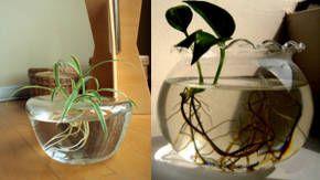 cultivo en agua de plantas de interior