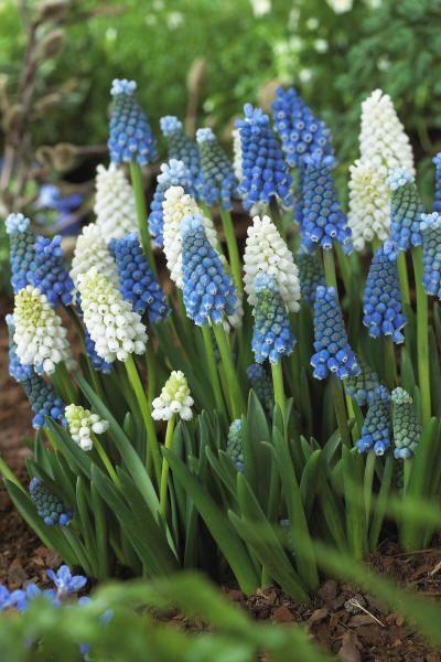 Oktober is bloembollen planttijd: groenrijk wonen met Magisch wit of blauw Muscari druifje