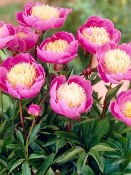 Pretty peonies - my favorite, but they need well draining soil !!!!