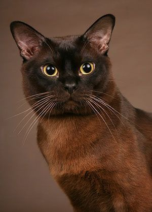 Burmese Cat - absolutely love these chocolate colored beauties!