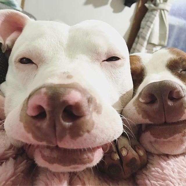 ☔️ #pit#pitbull#pitbulls#dog#doggy#love#lovedog#chillin#rainyday#family#ピットブル#アメリカンピットブルテリア#ワンコ#家族#愛犬#多頭飼い
