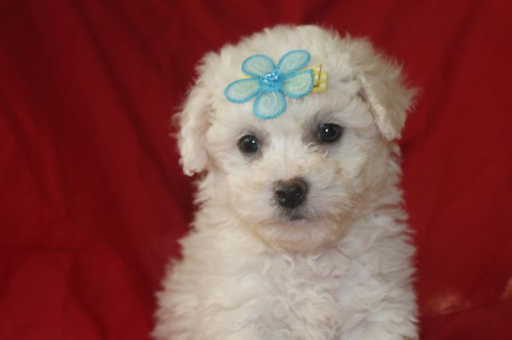 Bichon Frise puppies for sale - This bichon frise puppy for sale at http://www.network34.com