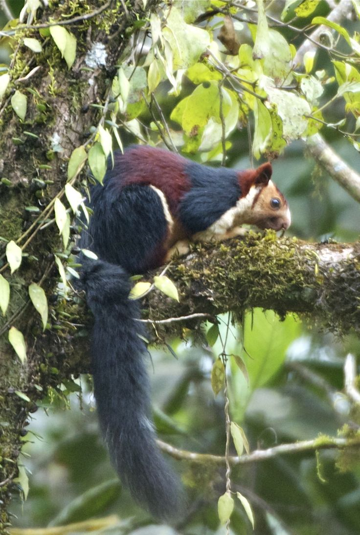 Indian Giant Squirrel by Pradip Janawade on 500px   Indian giant squirrel called malabar giant squirrel (Rutufa Indica), useally found in kerala state . this is baby