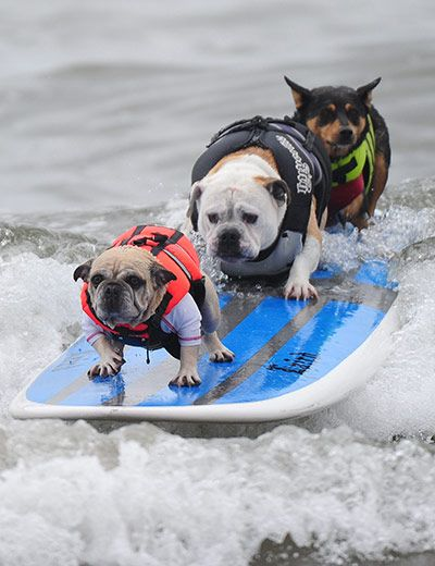 Surf Dogs, Huntington Beach, CA photo by Robyn Beck: The annual Surf City Surf Dog Competition.