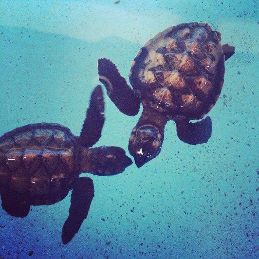 baby schildpadden pemuteran
