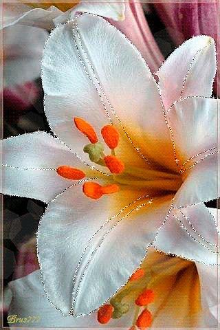 Белая лилия…