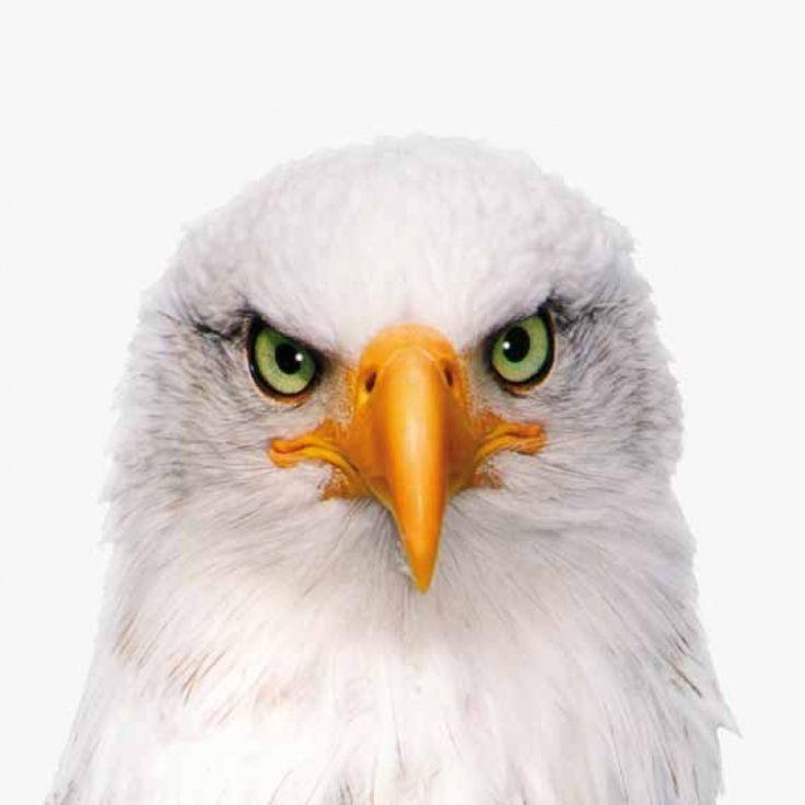 Adelaar, het symbool van Amerika. Nu in elk gewenst formaat voor bij jou aan de muur. Foto op canvas, foto op aluminium en vele andere soorten.