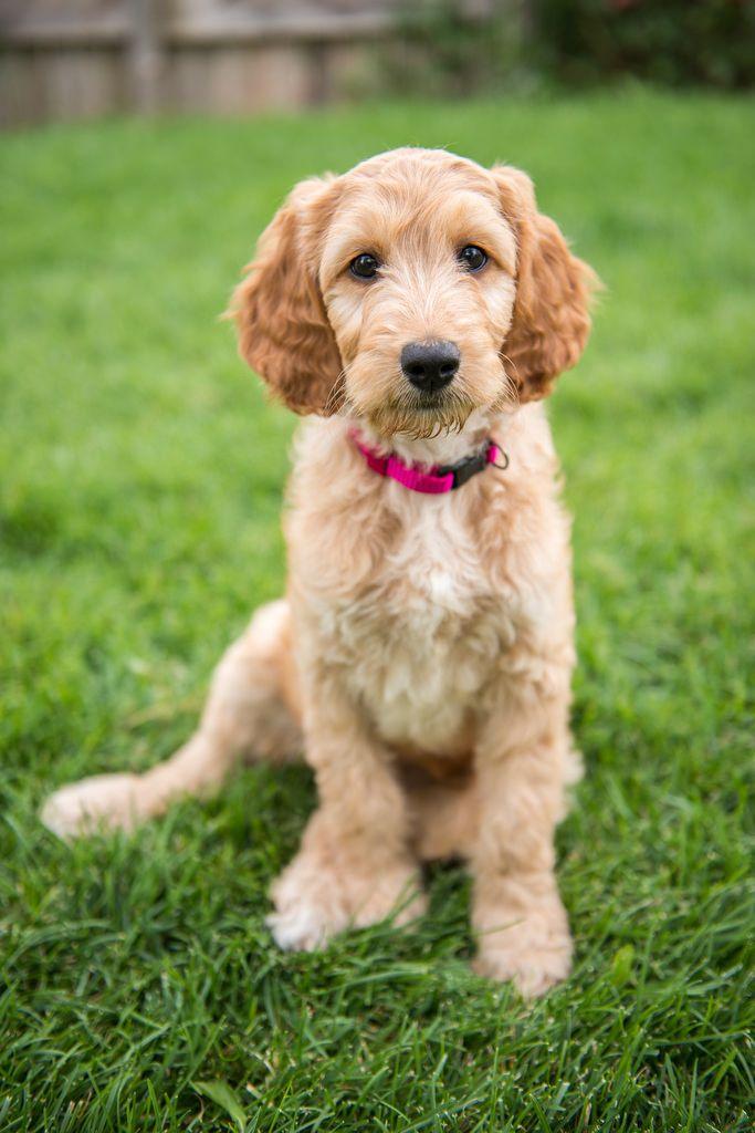 Irish Doodle Poodle mix breeds, Doodle dog breeds