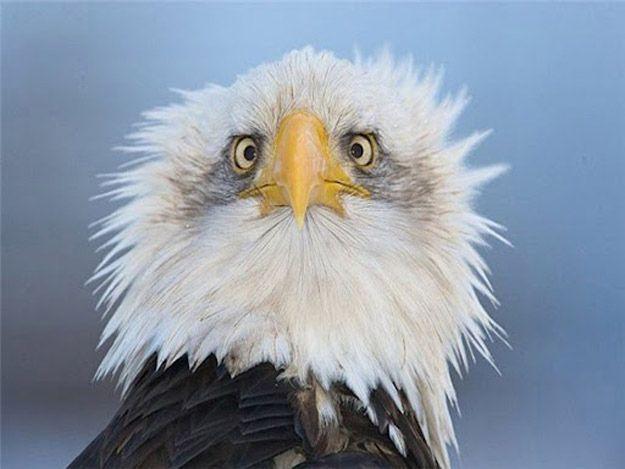Image result for bald eagle ugly