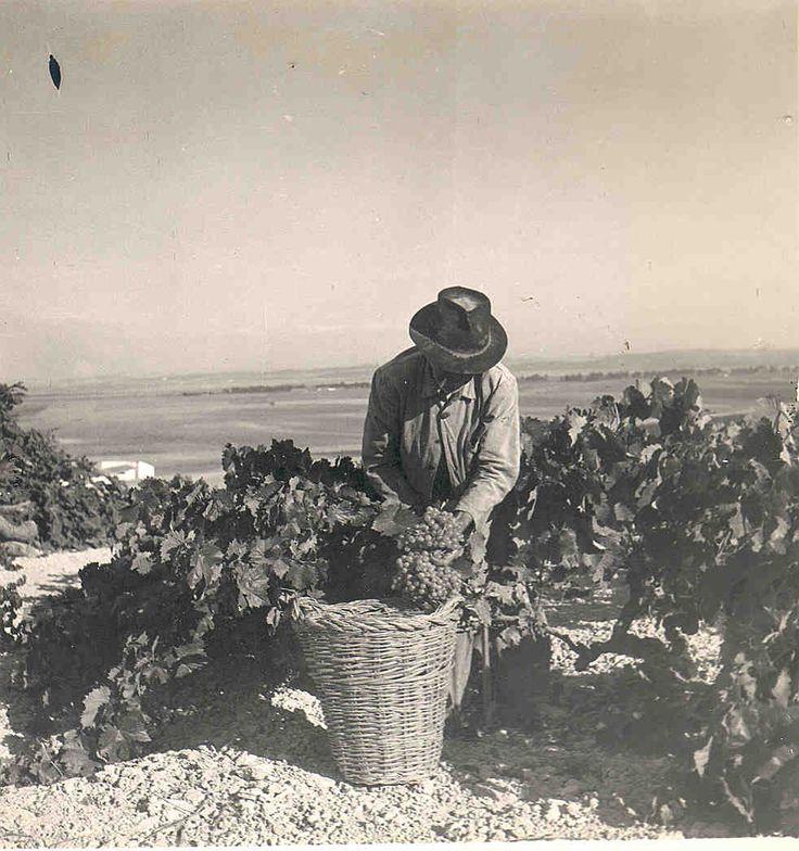 Vendimiando. / Harvesting.