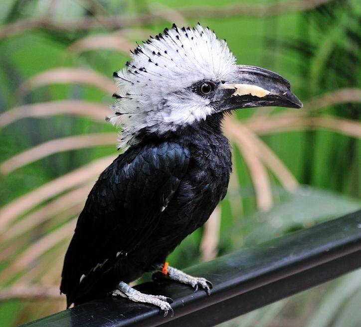African White Ctested Hornbill