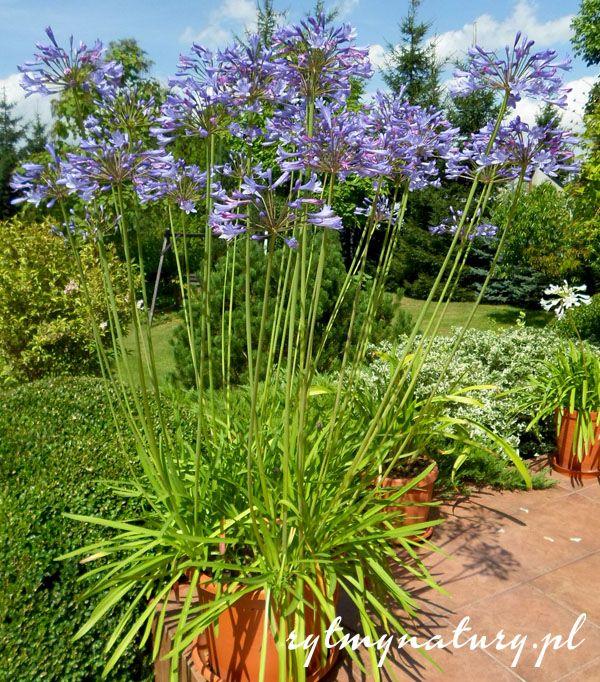 Ten Dumny Kwiat Na Balkon Niejedno Juz Skradl Serce Plants Garden Inspiration Garden