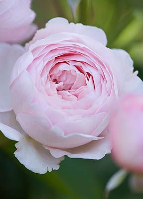 David Austin Rose Geoff Hamilton......I grow this in our garden.