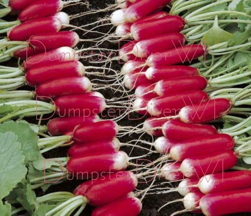 Organic FRENCH BREAKFAST Heirloom RADISH 400 seeds Crisp. 1000  ideas about Organic Gardening Catalogue on Pinterest