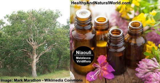 Niaouli essential oil is extremely versatile and can be used for many ailments - Learn about the health benefits and uses of Niaouli essential oil.